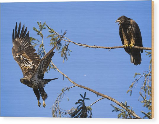 Bossy Eagle Wood Print