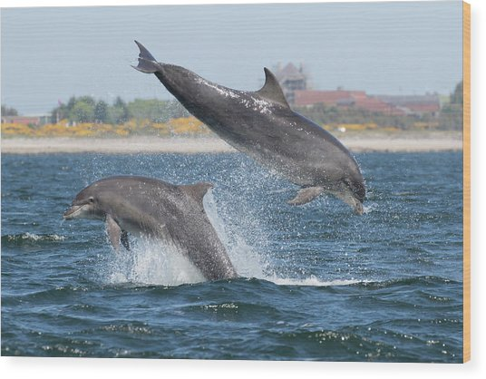 Wood Print featuring the photograph Bottlenose Dolphin - Moray Firth Scotland #48 by Karen Van Der Zijden