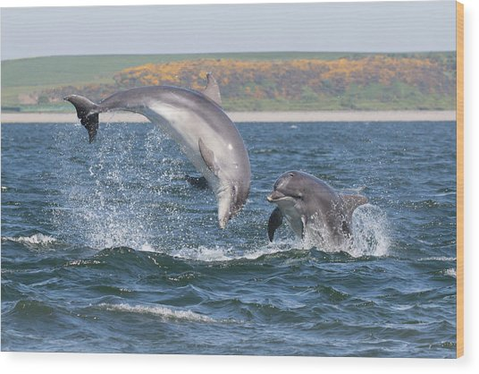 Wood Print featuring the photograph Bottlenose Dolphin - Moray Firth Scotland #49 by Karen Van Der Zijden