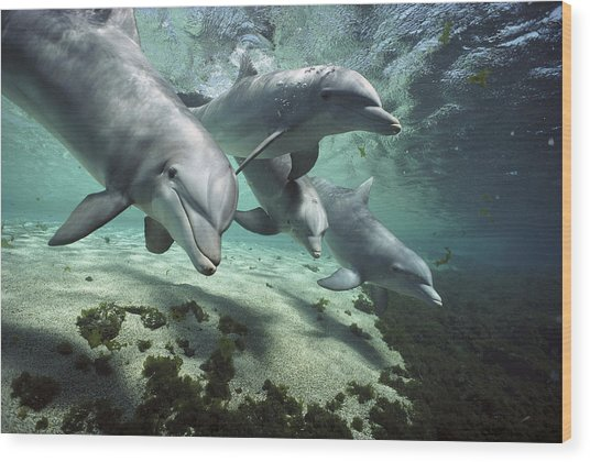 Four Bottlenose Dolphins Hawaii Wood Print