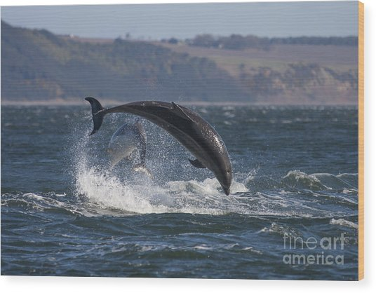 Bottlenose Dolphins - Scotland  #25 Wood Print