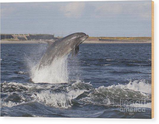 Bottlenose Dolphin - Scotland  #26 Wood Print