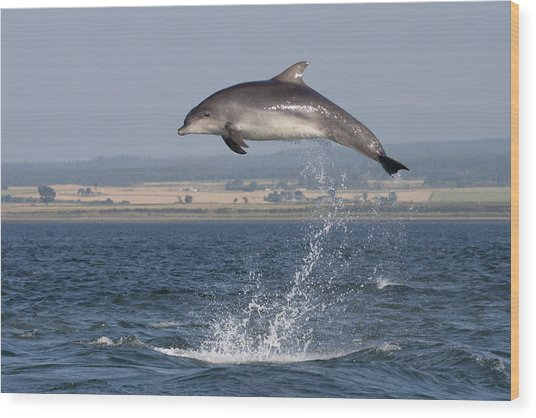 High Jump - Bottlenose Dolphin  - Scotland #42 Wood Print