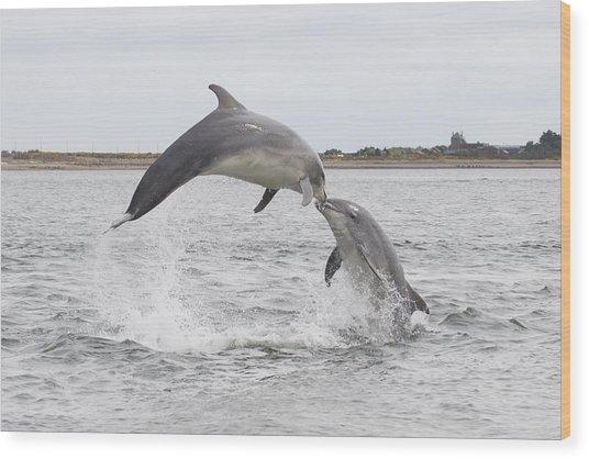 Bottlenose Dolphins - Scotland #1 Wood Print
