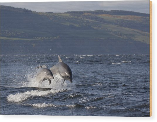 Bottlenose Dolphins Leaping - Scotland  #37 Wood Print