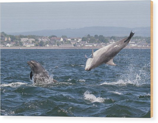 Wood Print featuring the photograph Bottlenose Dolphins - Moray Firth Scotland #45 by Karen Van Der Zijden