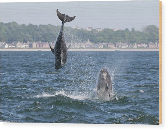 Wood Print featuring the photograph Bottlenose Dolphins - Moray Firth Scotland #46 by Karen Van Der Zijden