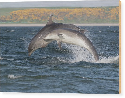 Wood Print featuring the photograph Bottlenose Dolphins - Moray Firth Scotland #47 by Karen Van Der Zijden