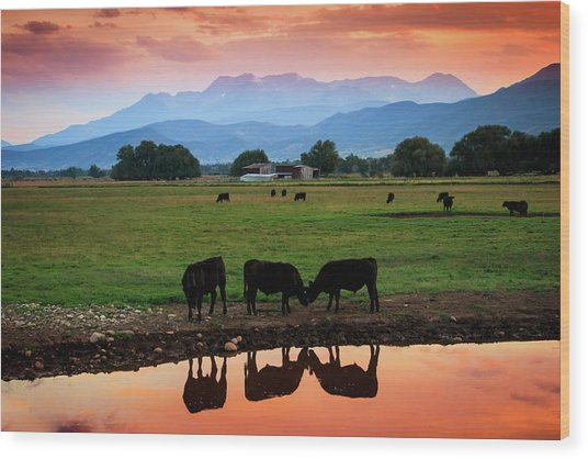 Bovine Sunset Wood Print