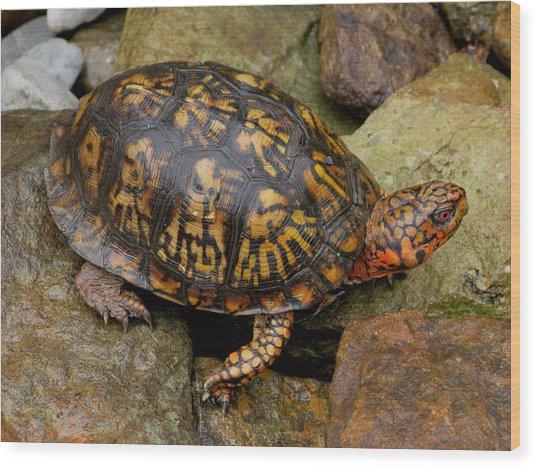 Box Turtle Wood Print by Laura Corebello