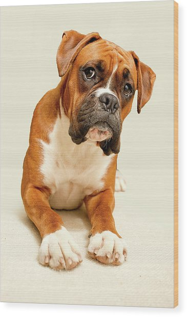 Boxer Dog On Ivory Backdrop Wood Print
