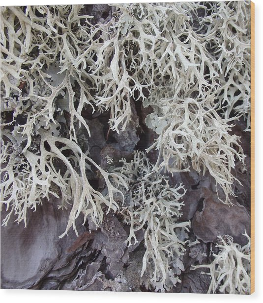Brachio - Usnea - Old Man's Beard Wood Print