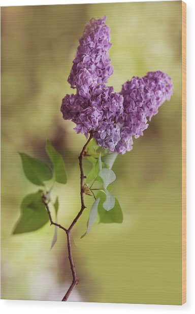 Branch Of Fresh Violet Lilac Wood Print