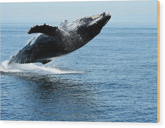 Breaching Humpback Whales Happy-2 Wood Print