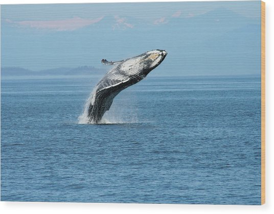 Breaching Humpback Whales Happy-3 Wood Print