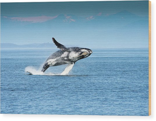 Breaching Humpback Whales Happy-4 Wood Print