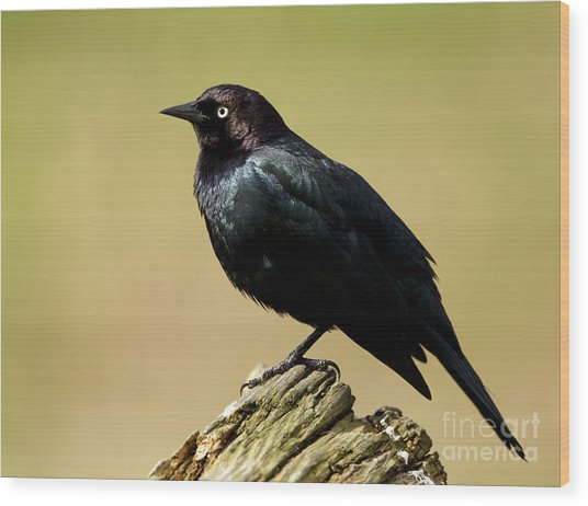 Brewers Blackbird Resting On Log Wood Print