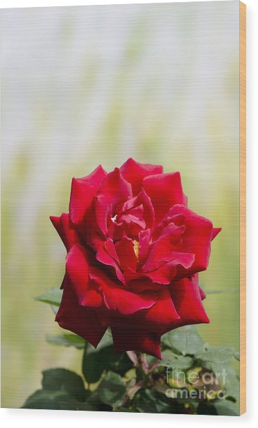 Bright Red Rose Wood Print