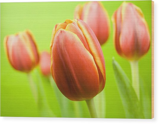 Bright Tulips Wood Print
