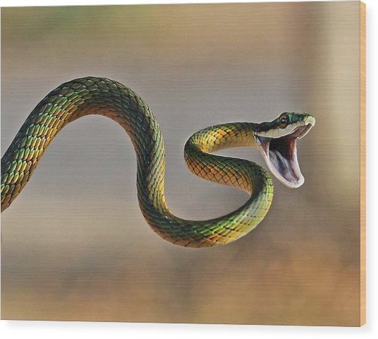 Brightly Coloured Parrot Snake Wood Print