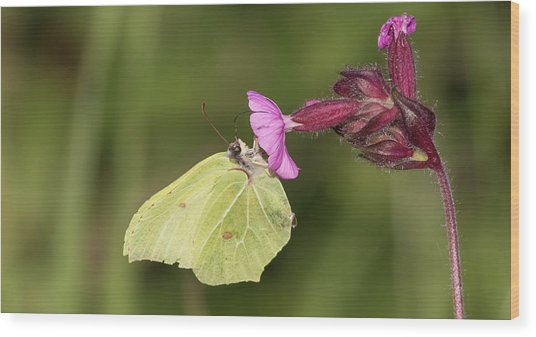 Brimstone Butterfly Wood Print