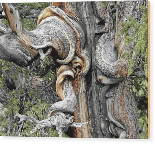 Bristlecone Pine - 'i Am Not Part Of History - History Is Part Of Me' Wood Print