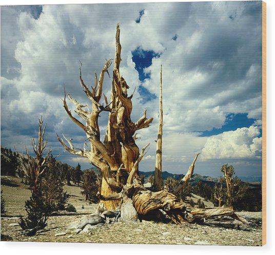 90118 Bristlecone Pine Wood Print