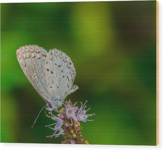 British Butterfly Or Little Blue Wood Print