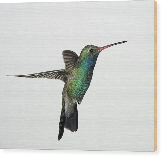 Broadbill Hummingbird In Flight Wood Print