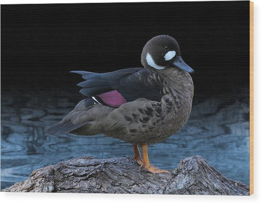 Bronze-winged Duck Wood Print