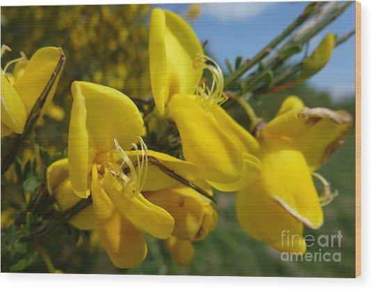 Broom In Bloom 3 Wood Print