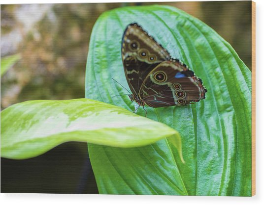 Wood Print featuring the photograph Brown And Blue Butterfly by Raphael Lopez
