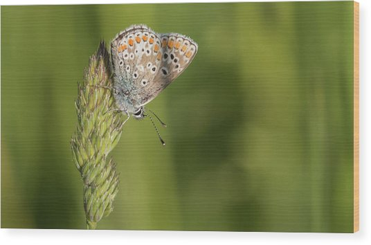 Brown Argus Wood Print