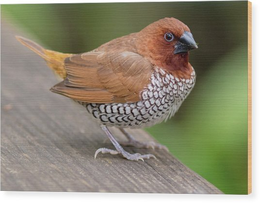 Wood Print featuring the photograph Brown Bird by Raphael Lopez