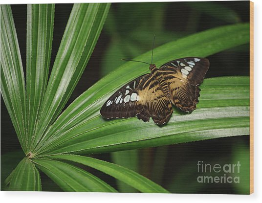 Brown Clipper Butterfly -parthenos Sylvia- On Frond Wood Print