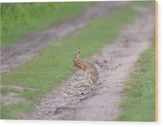 Brown Hare Cleaning Wood Print