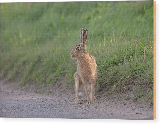 Brown Hare Listening Wood Print