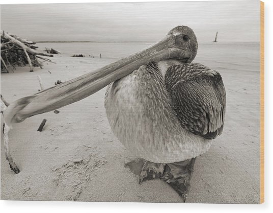 Brown Pelican Folly Beach Morris Island Lighthouse Close Up Wood Print