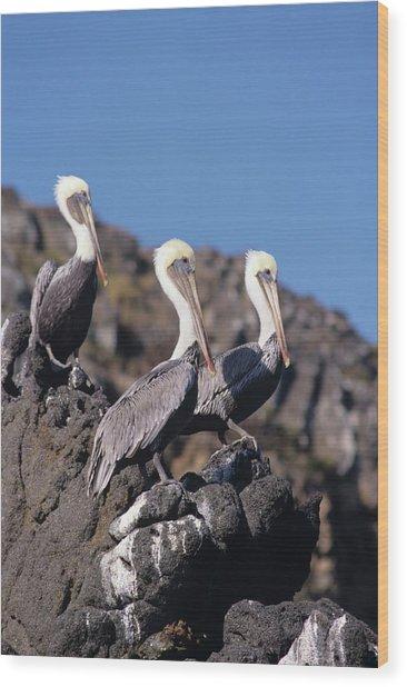 Brown Pelican Trio  Wood Print