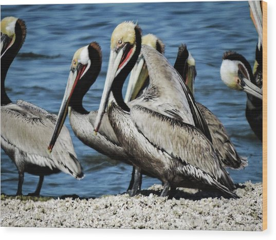 Brown Pelicans Preening Wood Print