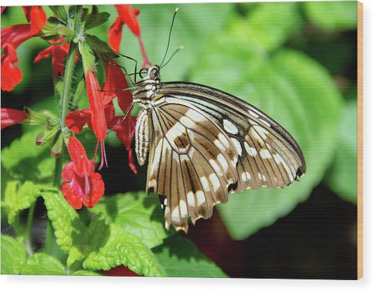 Brown Swallowtail Butterfly Wood Print