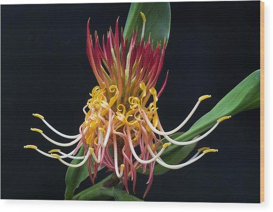 Brownea Macrophylla Tropical Flower Wood Print