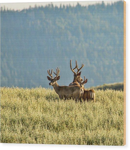 Buck Mule Deer In Velvet Wood Print