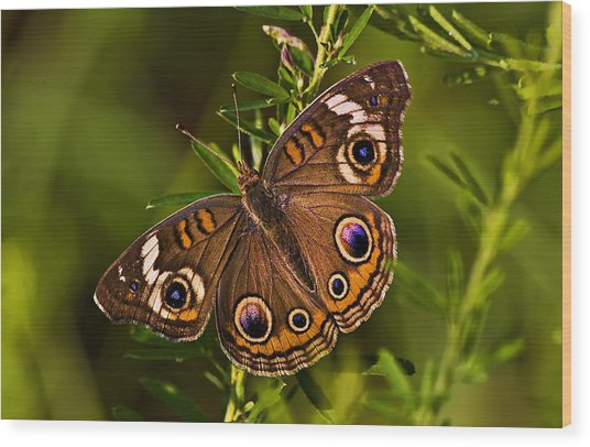 Buckeye Butterfly Wood Print by Michael Whitaker
