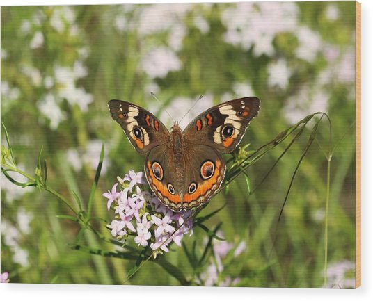 Buckeye Butterfly Posing Wood Print
