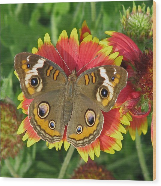 Buckeye On Blanketflower Wood Print