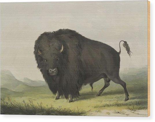 Buffalo Bull Grazing 1845 Wood Print