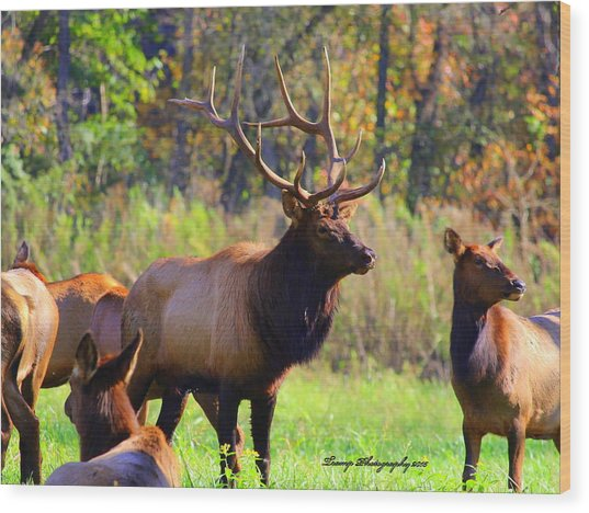 Buffalo River Elk Wood Print