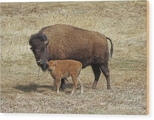 Buffalo With Newborn Calf Wood Print