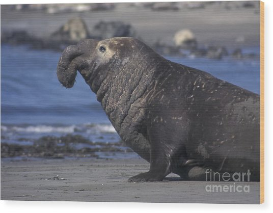 Bull Elephant Seal Wood Print by Stan and Anne Foster